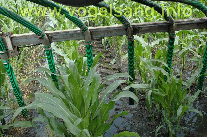 Внесення органічних рідких добрив під кукурузу
