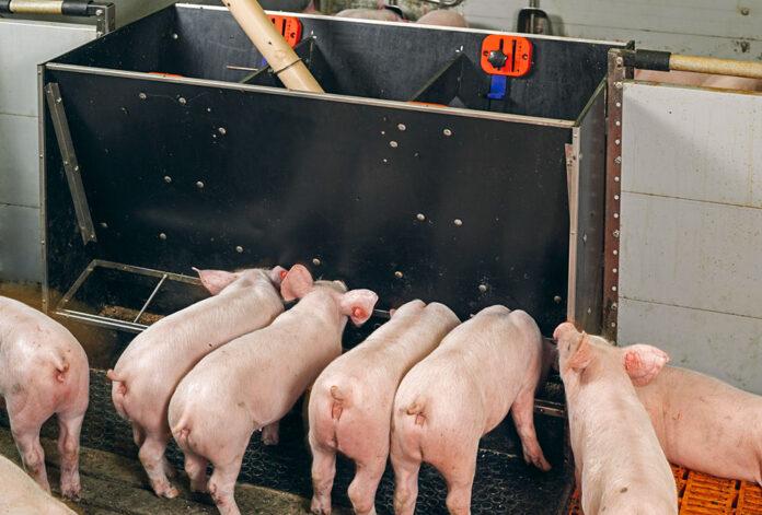 Бункерні годівниці для свиней